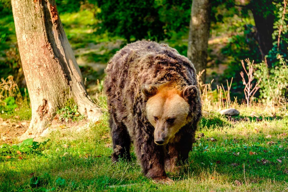 Libearty Bear Sanctuary in Romania: a Big Dream for Giant Mammals