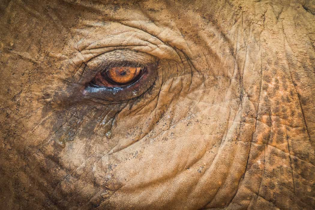 The wet eye of an elephant.