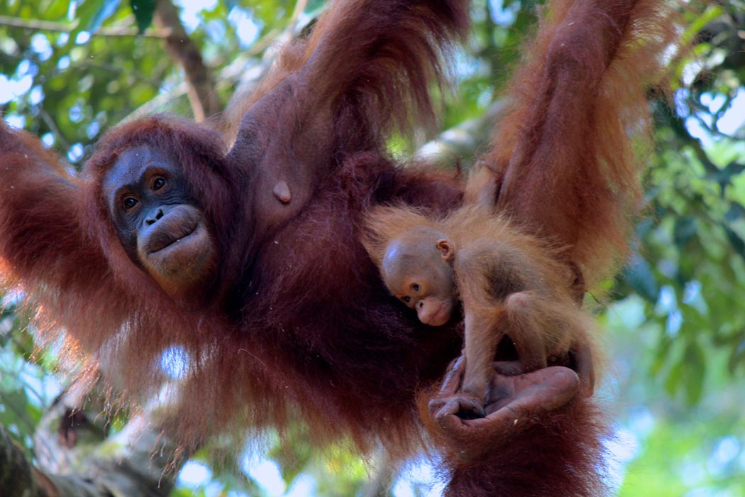 Orangutan and her baby in Borneo.