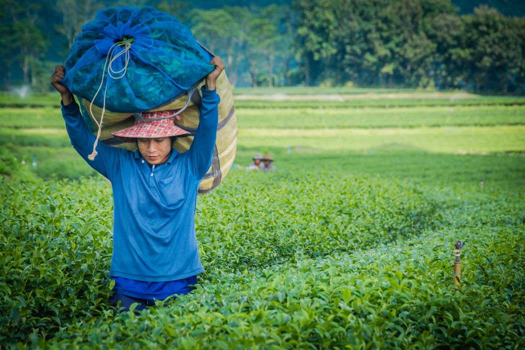 A burmese farmer working in a tea plantation in Chiang Rai, Thailand.
