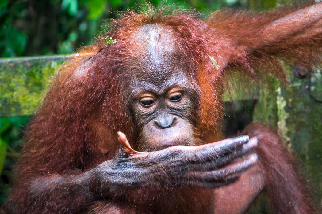 how to see orangutans in Borneo independently