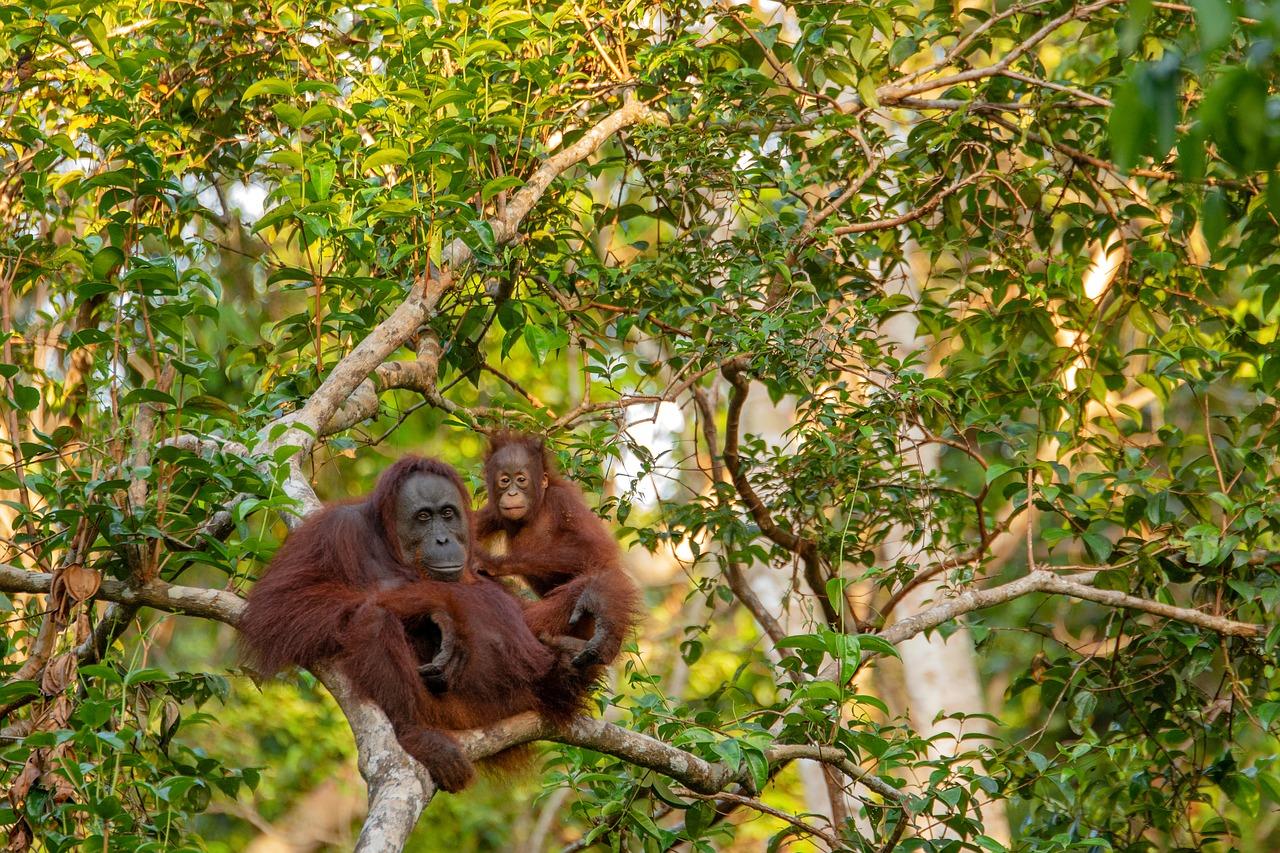 see orangutans in Borneo