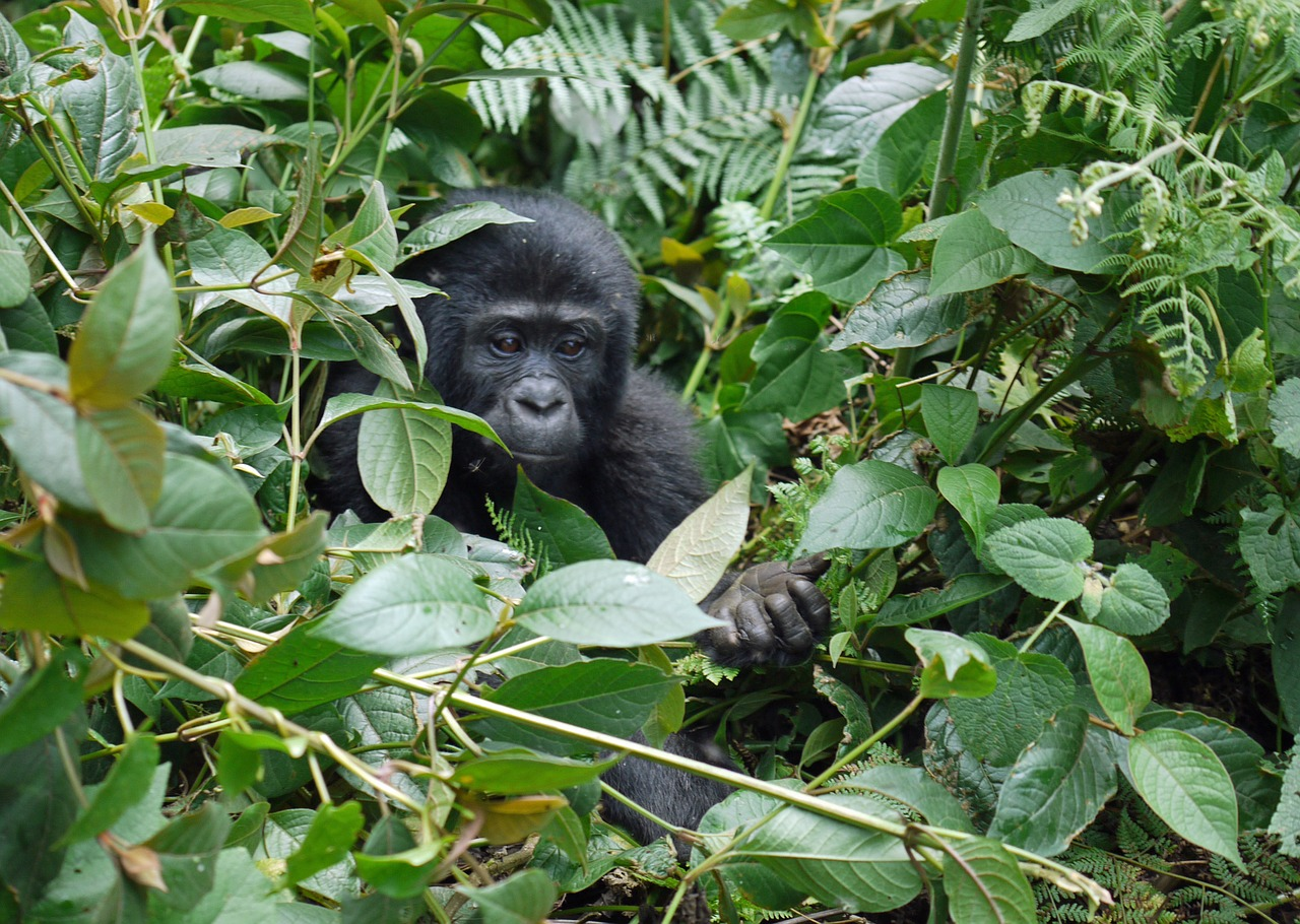 Top Tips for Tracking Mountain Gorillas in Rwanda